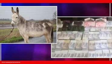 Pakistan: Keledai yang ditangkap dalam kasus perjudian ilegal dibebaskan oleh pengadilan setempat